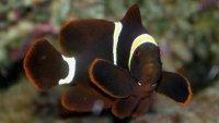 Paradise Pets: Clown Fish