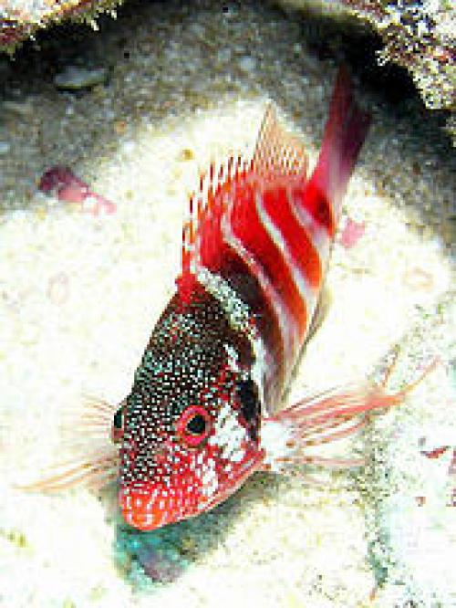 Paradise Pets Banded Red Hawkfish