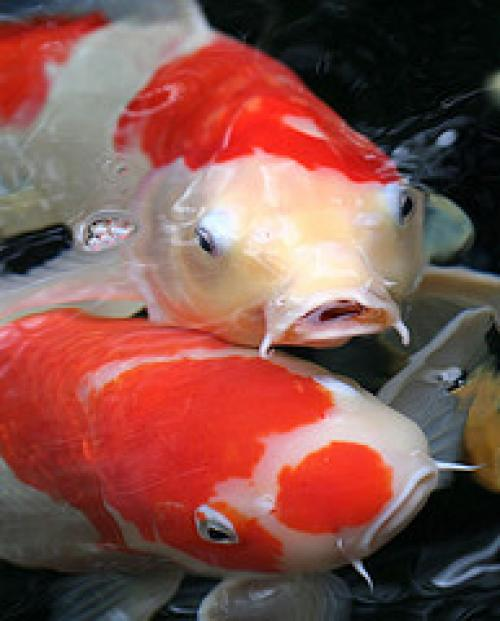 Paradise pets koi and goldfish for Koi und goldfisch