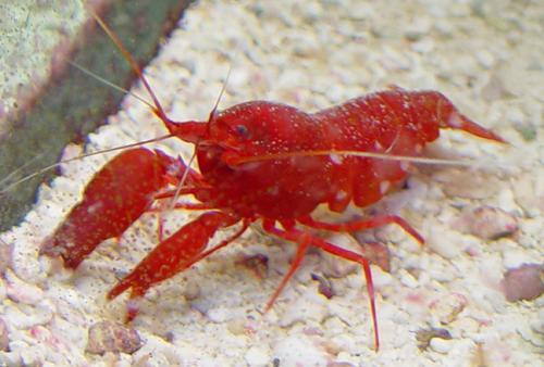 Paradise Pets: Red Pis...Saltwater Shrimp Species